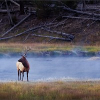 Bull of the Mists - Yellowstone NP, 2010.