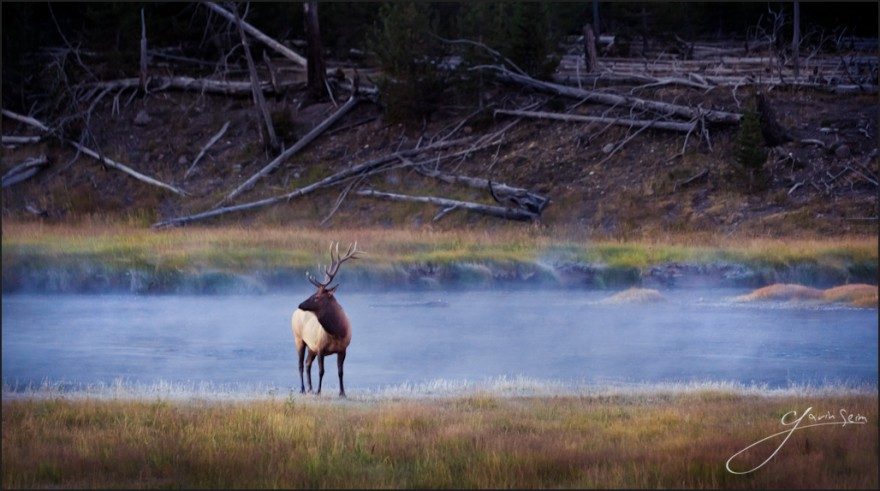 bull of mist yellowstone elk 880x491 Bull of the Mist   West Yellowstone